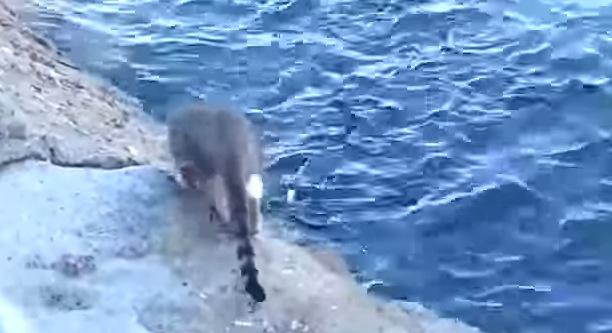 猫が魚を捕る瞬間!