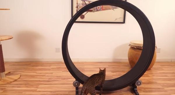 家猫の新しいストレス発散方法!巨大回し車でくるくるエクササイズ