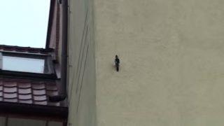 キツツキがアパートの壁に穴を開けて巣作り中