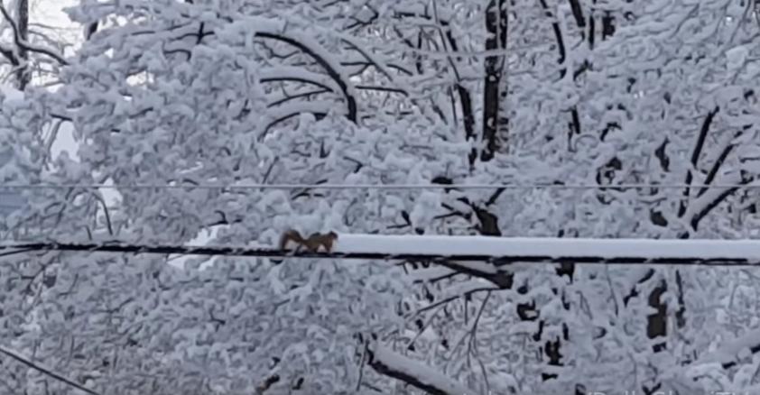 """電線に積もった雪の""""雪かき""""をしているリス"""