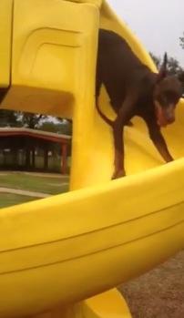 見本通りには滑りません!予想外な滑り台の降り方をした犬