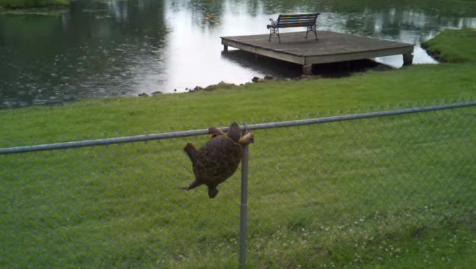 切ない!フェンスを越えたいスッポン、もう一歩の所で。。
