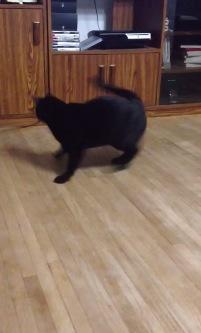 猫じゃらしで遊びすぎて目を回す猫