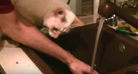 手を洗おうとすると何故か阻止する猫
