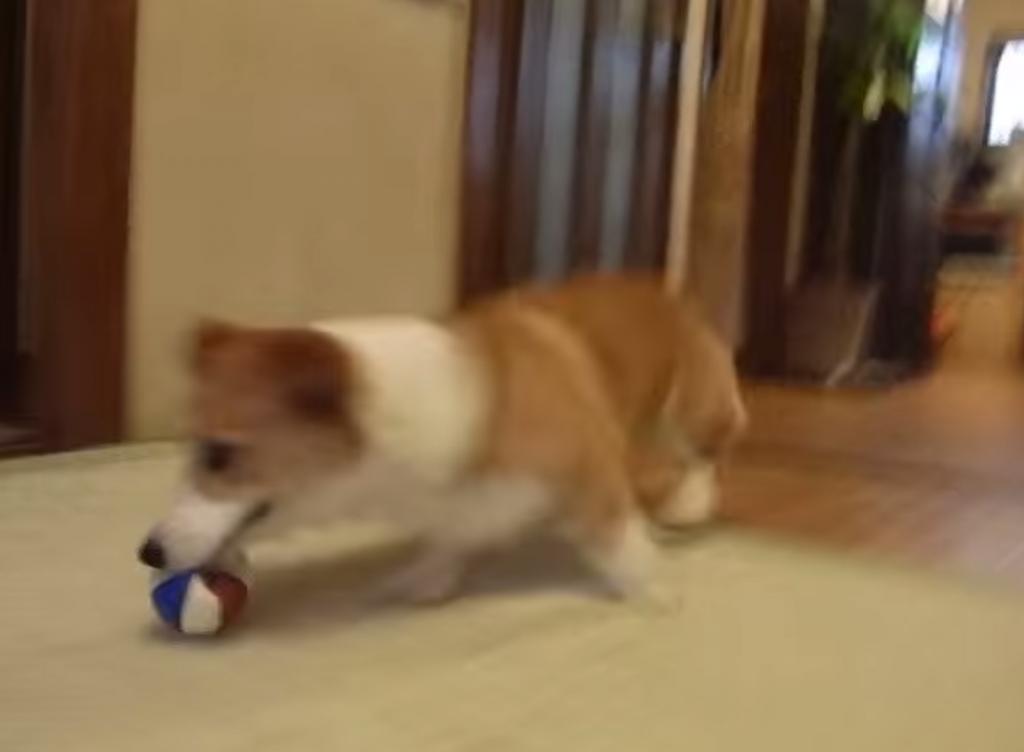 可愛すぎる!ボールが待ちきれなくて足踏みしている犬の動画