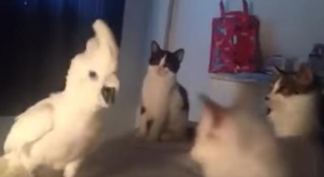 猫の鳴き声を真似するオウムが猫達の輪に入ったら。。。