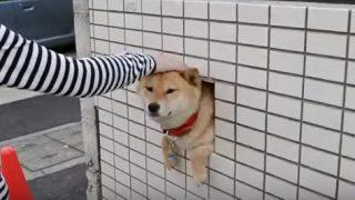 壁の柴犬が可愛すぎる!