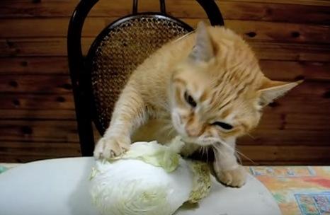 キャベツをむしゃむしゃ食べる猫