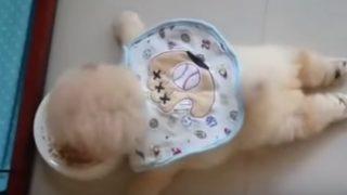 大の字になってご飯を食べる子犬が可愛い!