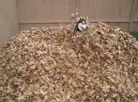 大量落ち葉に大喜び!落ち葉のプールにひたすらダイブする犬の動画