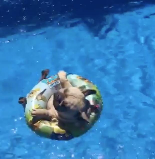 浮き輪でプカプカ漂うパグが可愛い!