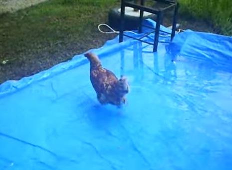 えー!ニワトリを水に投入した結果。。。