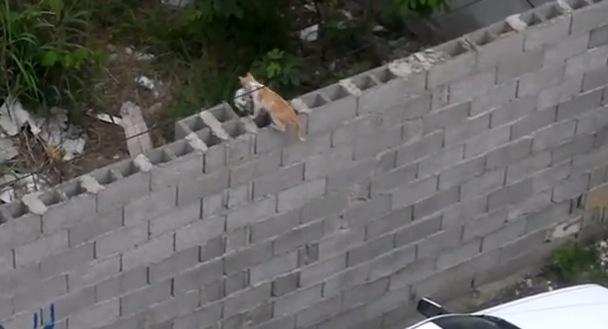 子猫を咥えた母猫。高い壁を越えることはできるのか!?