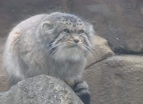 最古の猫「マヌルネコ」のダルマ感がはんぱない!
