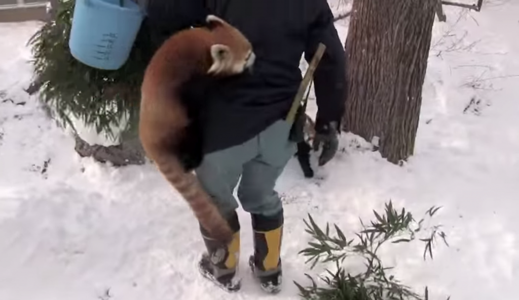 円山動物園のレッサーパンダが飼育員さんにしがみつく姿が微笑ましい!