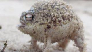 子猫のような?鳴き声のカエルの動画