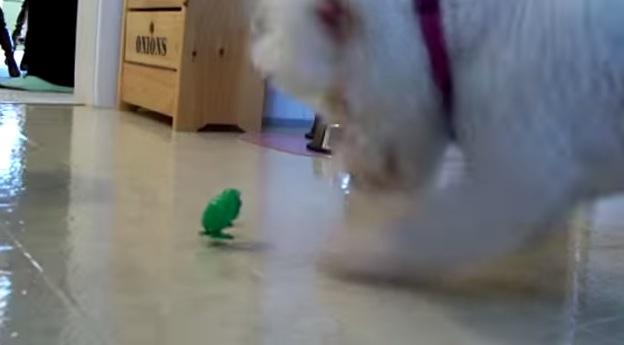 犬に「カタカタ」跳ねるカエルのおもちゃを見せたら。。