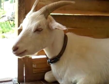 マッタリしているヤギの思わぬ表情にププってなる動画