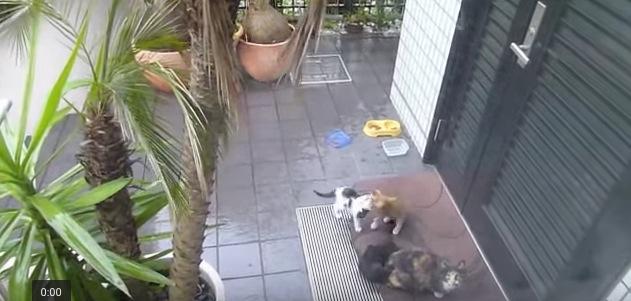 撮影者を威嚇したつもりが子猫が逃げて少しテンパる母猫