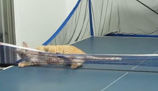 卓球界の新星現る?!見事に連続スマッシュを決める猫