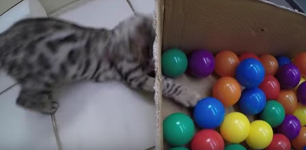 ボールプールで遊ぶ猫ちゃんがカワイすぎる!