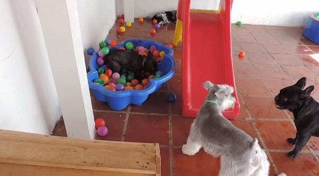 ボールのプールに大喜びな犬がカワイイ!