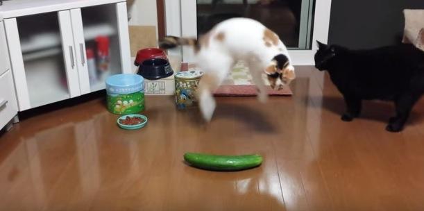 まさかのキュウリにちょっとだけビックリする猫