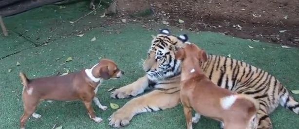 ご主人を「襲うフリ!?」をした虎に飼い犬が勇敢に立ち向かう