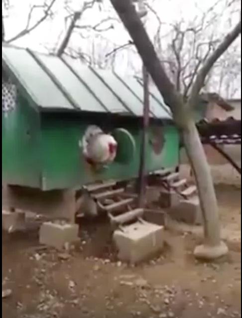 噂の超巨大鶏の動画
