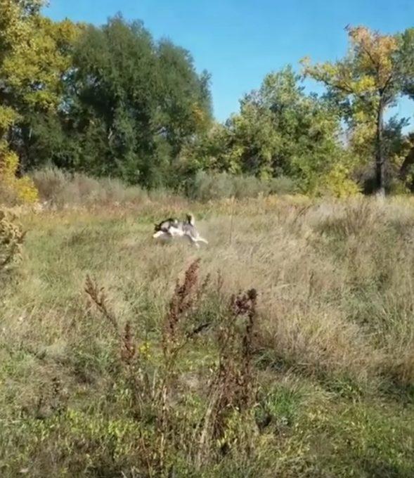 草原で鹿のように飛び跳ねるハスキー犬が可愛い
