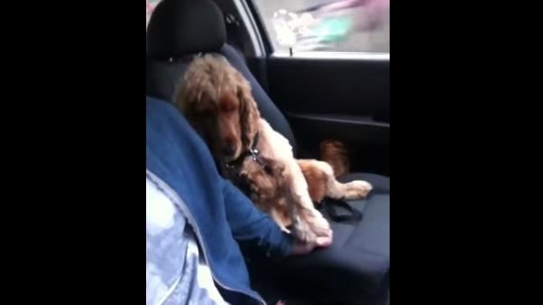 ドライブ中に「手を繫いで〜」と甘える犬