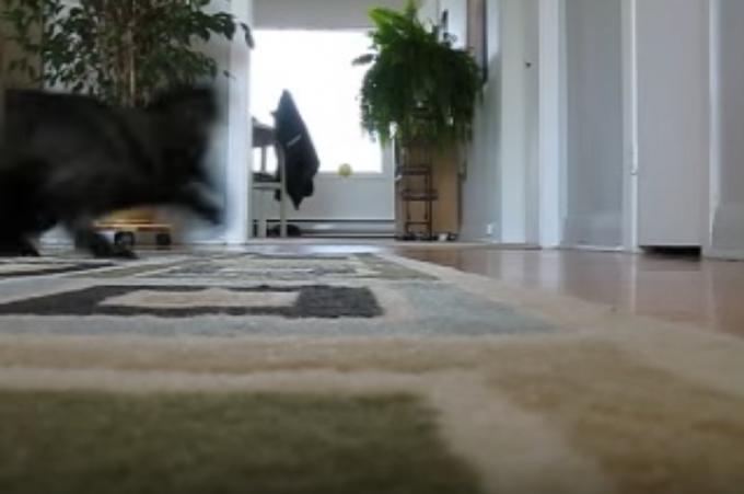 ボール遊び大好き!ボールを投げたら取ってくる犬みたいな猫