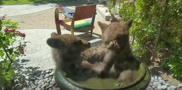予想外!小鳥用水盤で熊が仲良く水浴びしている動画
