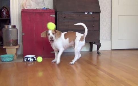 犬に大量のボールをプレゼントしたら。。。