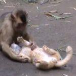 猫に愛情を注ぐ猿の動画
