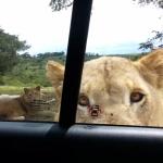 もしもライオンが車のドアを開けたら。。?!