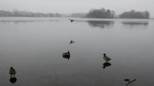 氷の張った湖にカッコよく着陸するカモの動画