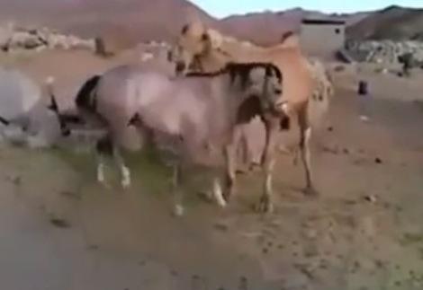 馬が旧友のラクダと久しぶりに再会したら。。