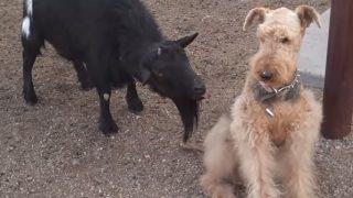 ヤギのおかしな嫌がらせ?に困惑する犬