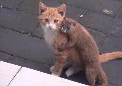 好き過ぎてたまらん!子猫に絡むイタチの絡み方が凄い