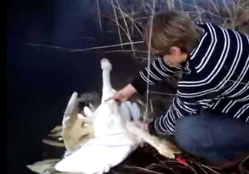 なぜ!?絡まってもがいている2羽の白鳥が、人間に助けを求める