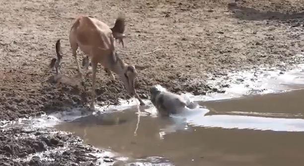 間一髪!!水を飲んでいるインパラに起こった出来事とは!?