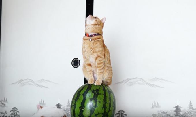 夏の風物詩「猫のスイカ乗り」