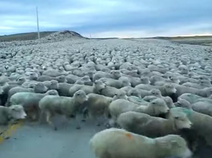 道路一面を埋め尽くす羊の大群。想像以上の多さにビックリ!