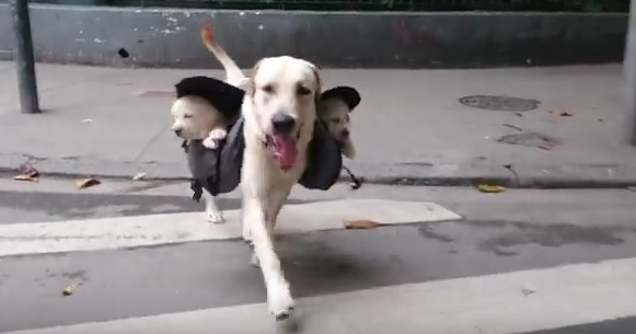 犬版「抱っこ紐」で子犬達とお散歩