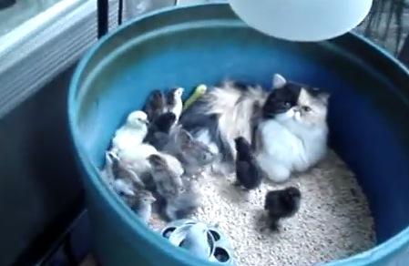 猫がヒナの面倒を見るだなんて!素敵