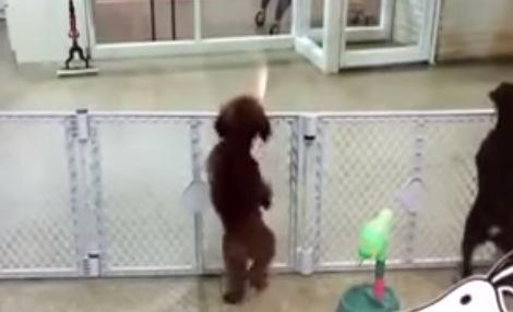 飼い主さんが迎えにきた時のワンちゃんの喜びの舞がカワイイ!
