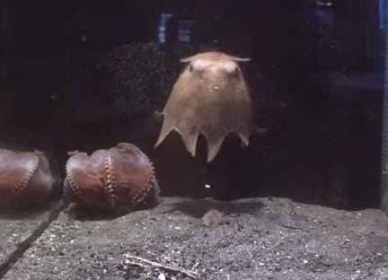 癒し系深海生物『メンダコ』の動画