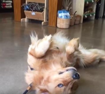 家に帰りたくないアピールがすごい犬の動画
