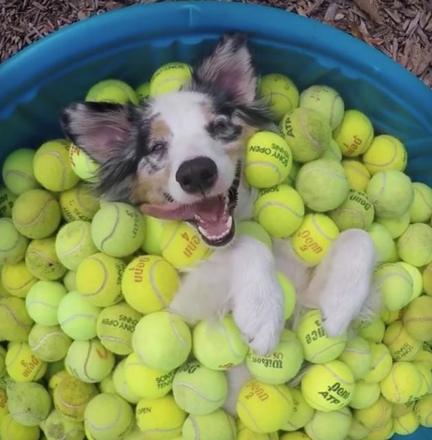 何故かテニスボールに埋もれてウハウハな犬